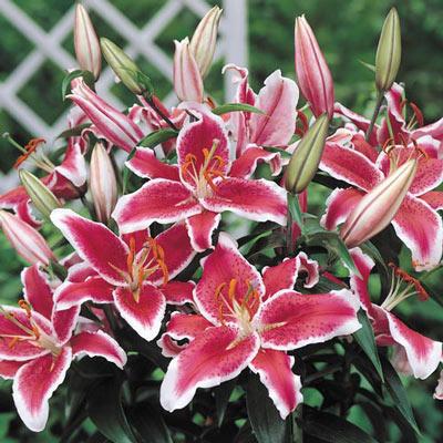 Oriental Lily Star Gazer