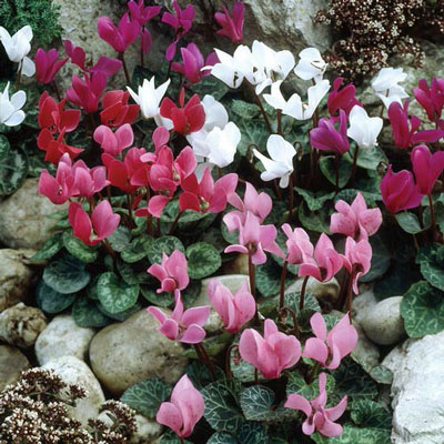 6 Months of Mixed Hardy Cyclamen