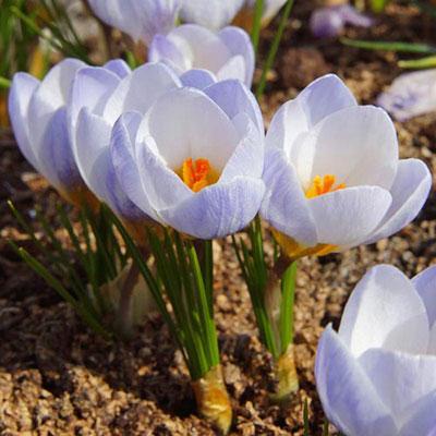 Species Crocus Blue Pearl (chrysanthus)