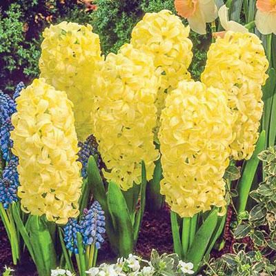 Hyacinth City of Haarlem - Yellow Hyacinth