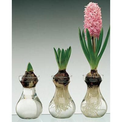 Traditional Dutch Hyacinth Glasses