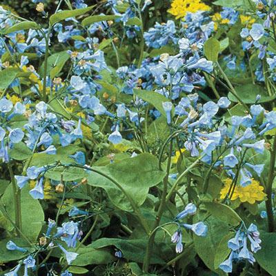 Virginia Bluebells (Mertensia virginica)
