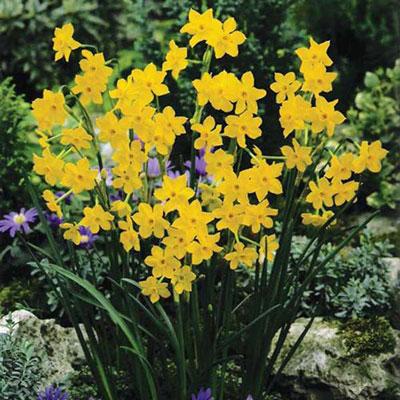 Jonquilla Daffodil Baby Boomer