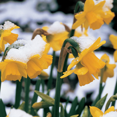 Cyclamineus Daffodil Tete-a-Tete