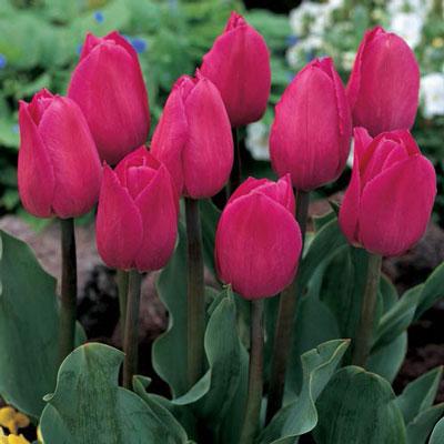 Triumph Tulip Barcelona