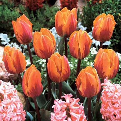 Triumph Tulip Princess Irene