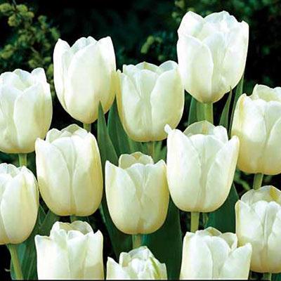 Darwin Hybrid Tulip White Clouds (Hakuun)