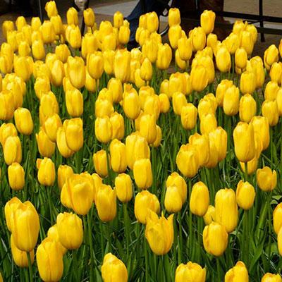 Mayflowering Tulip Mrs. John T Scheepers