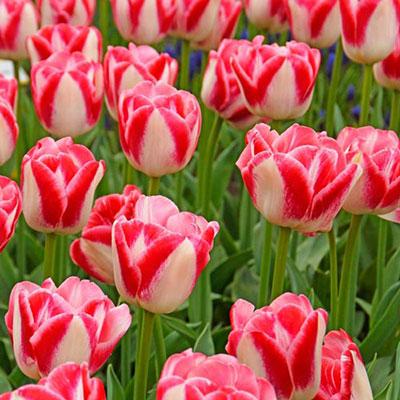 Late-Flowering Tulip Dreamland