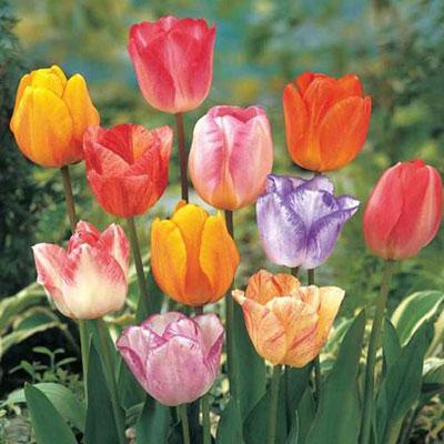 Pastel Mayflowering Tulip Mix