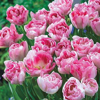 Double Peony Tulip Angelique