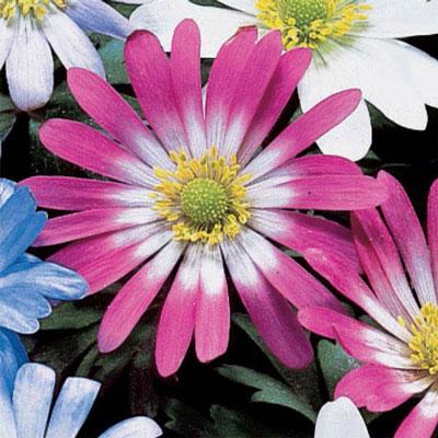 Anemone Blanda Pink Star