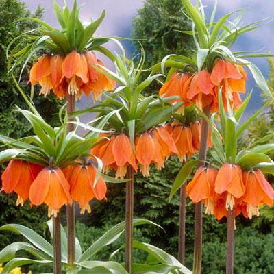 Fritillaria imperialis rubra (Red Crown)