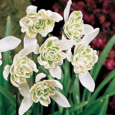 Double Snowdrops (Galanthus nivalis 'Flore Pleno')