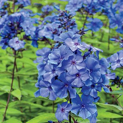 Hardy Tall Phlox Blue Paradise