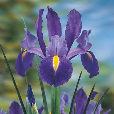 Dutch Iris Blue Magic