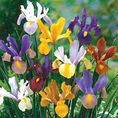 Dutch Iris Beauty Mix
