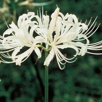 Lycoris albiflora (White Spider Lily)