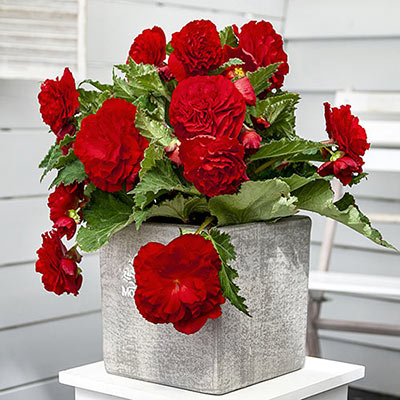 Non-Stop Begonia Red