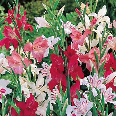 Mixed Hardy Glads (Gladiolus Nanus)