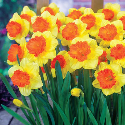 Large Cupped Daffodil Coral Crown