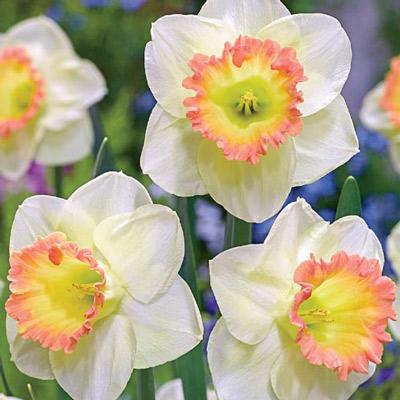Large Cupped Daffodil Martha Stewart