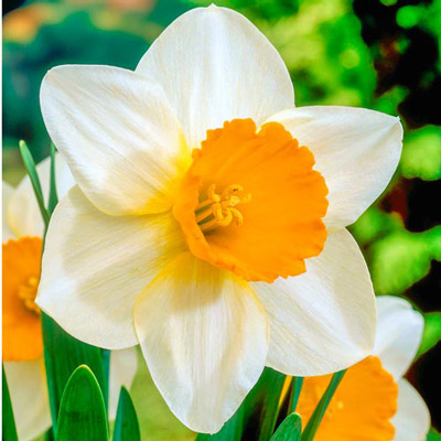 Large Cupped Daffodil Sempre Avanti