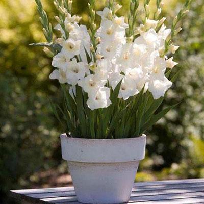 Glamini® Gladiolus Blondie