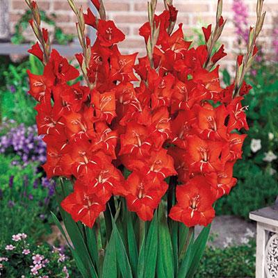 Glamini® Gladiolus Patty