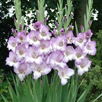 Glamini® Gladiolus Luca