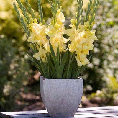 Glamini® Gladiolus Silvia