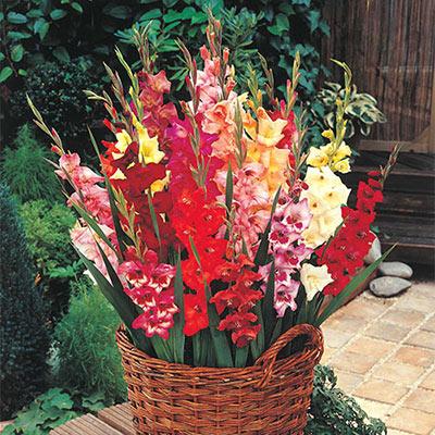 Glamini® Gladiolus Mixed