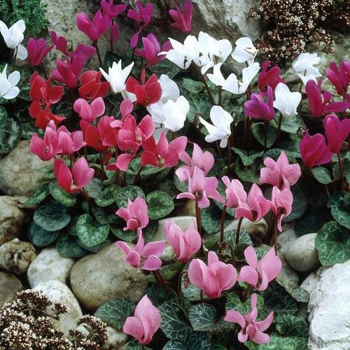Cyclamen Mix Fall Blooming K Van Bourgondien Wholesale Bulb