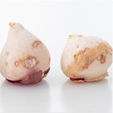 Dormant Bulbs 2