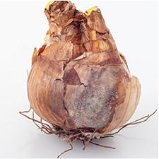 Dormant Bulbs 3