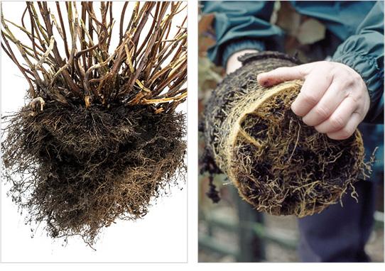 Dormant Shrubs roots