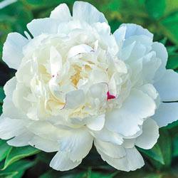 Parfum de Bloom™ Festiva Maxima Peony