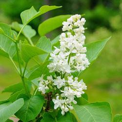 White French Hybrid Lilac