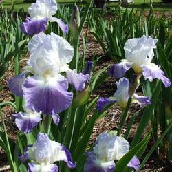 Clarence Reblooming German Iris