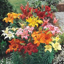 Hardy Perennial Lilies