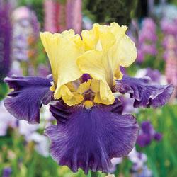 Jurassic Park Reblooming Bearded Iris