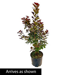 Royal Purple Smoketree
