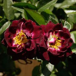 Diamond Eyes™ Miniature Rose