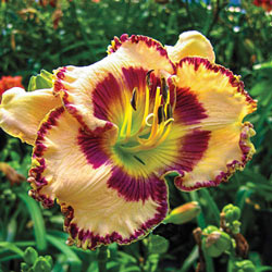 Sink Into Your Eyes Reblooming Daylily