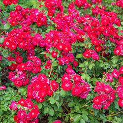 Champlain Shrub Rose