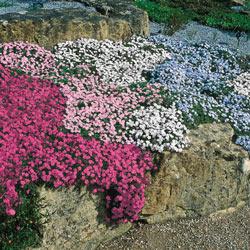 Pink Carpet Phlox
