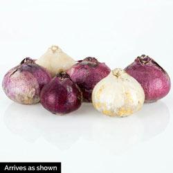 Fragrant Hyacinth Mix