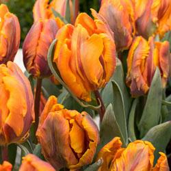 Princess Irene Parrot Tulip