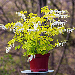 White Gold Dicentra