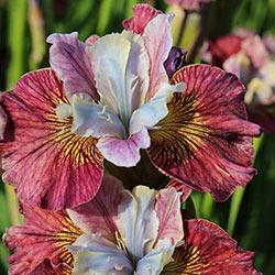 Painted Women Siberian Iris
